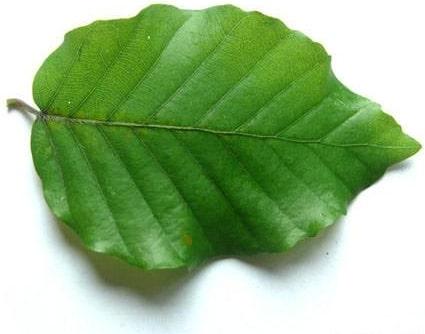 Bukový list